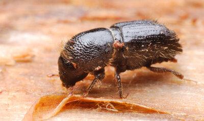 Les épicéas wallons attaqués par les scolytes, une menace pour nos forêts!