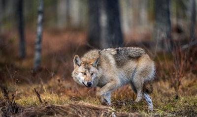 Promenade sur le territoire des loups : do's & dont's