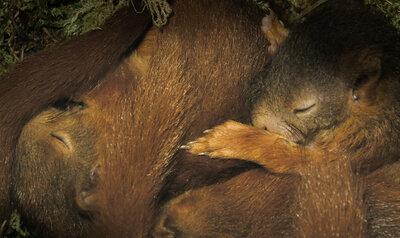 Les jeunes écureuils endormis se réveillent