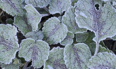 Pourquoi les plantes ne meurent-elles pas de froid ?