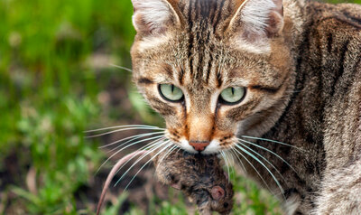 Le chat, un danger pour la biodiversité ?