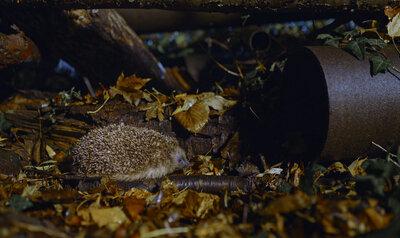 Hérisson urbain cherche refuge pour hiberner
