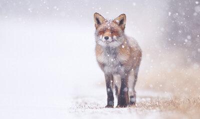 Quiz : Pelage d'hiver et hibernation