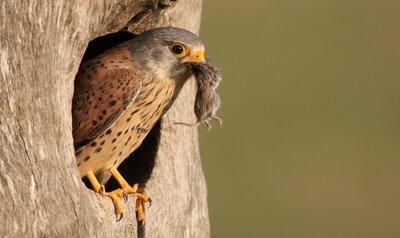 Le faucon crécerelle repère l'urine de souris depuis le ciel