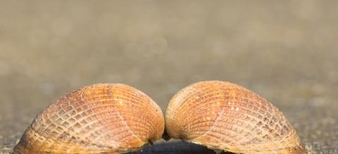 Coquille droite et gauche de la coque commune