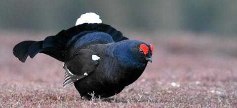 black-grouse-4126537-1920.jpg