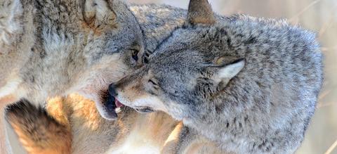 wolven-likken-aan-bek.jpg