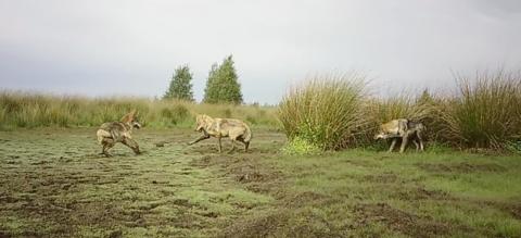 spelende-wolven-landscape.png