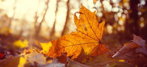 esdoornblad-onze-natuur.jpg
