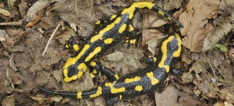 salamandres.jpg