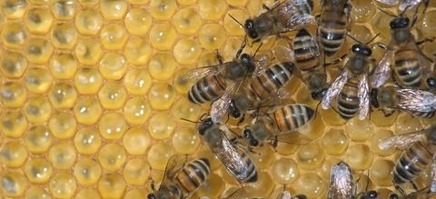 vilda-5062-honingbijen-op-raat-rollin-verlinde-800-px-48724.jpg