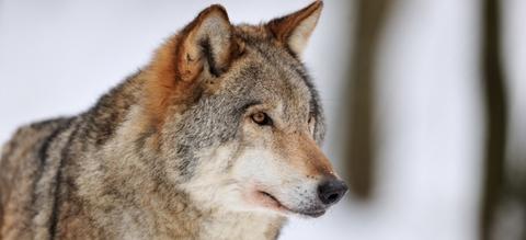 vilda-68987-wolf-yves-adams-800-px-50579.jpg