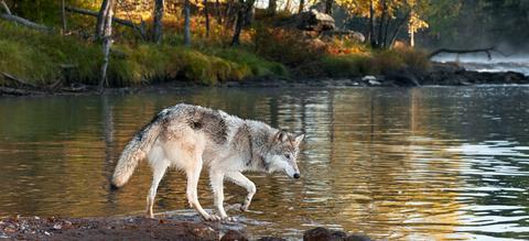 wolf-biodiversiteit.jpg