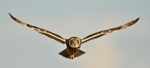 vilda-97958-vrouwtje-velduil-in-vlucht-yves-adams-1900-px-52845.jpg