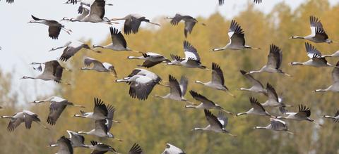 kraanvogels-d.jpg