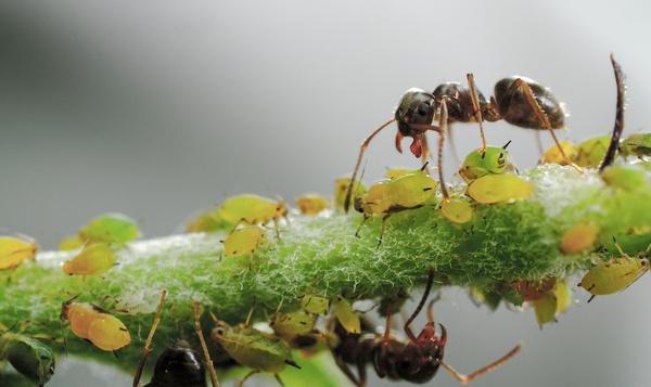 Les fourmis et leur troupeau de pucerons