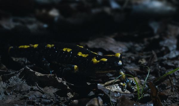 Des salamandres venimeuses au milieu des champignons magiques