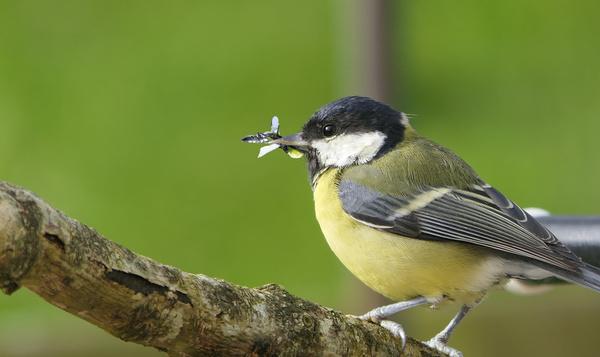 Les oiseaux flexitariens, aussi chasseurs d'insectes