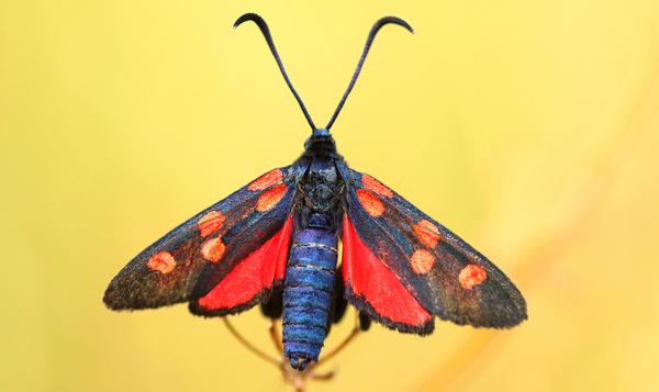 Quels papillons de nuit peuplent notre environnement ?