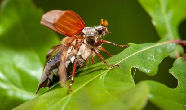 Le hanneton commun aime aussi croquer une feuille de chêne bien verte