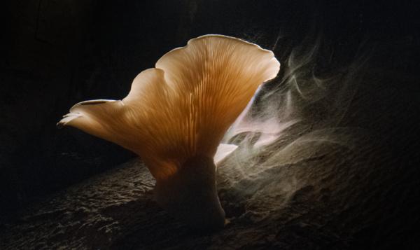 Un champignon rare répand ses spores