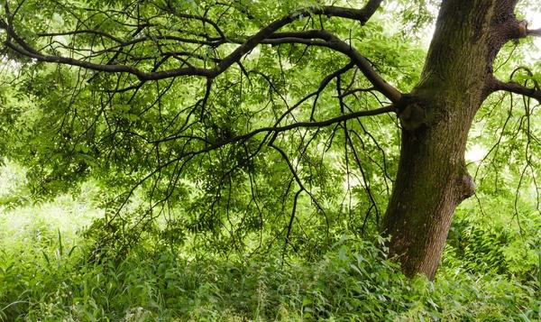 Le frêne élevé, notre géant bien utile