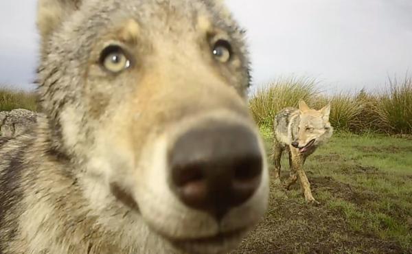 Suivez nos loups à la trace