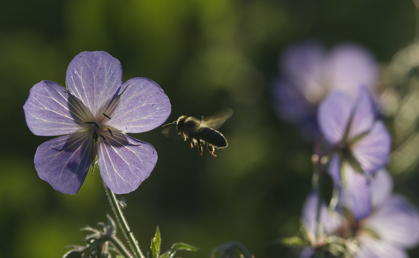 Défi faune n°2 : Suivez une abeille sauvage de fleur en fleur