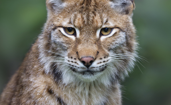Les jolis favoris du lynx