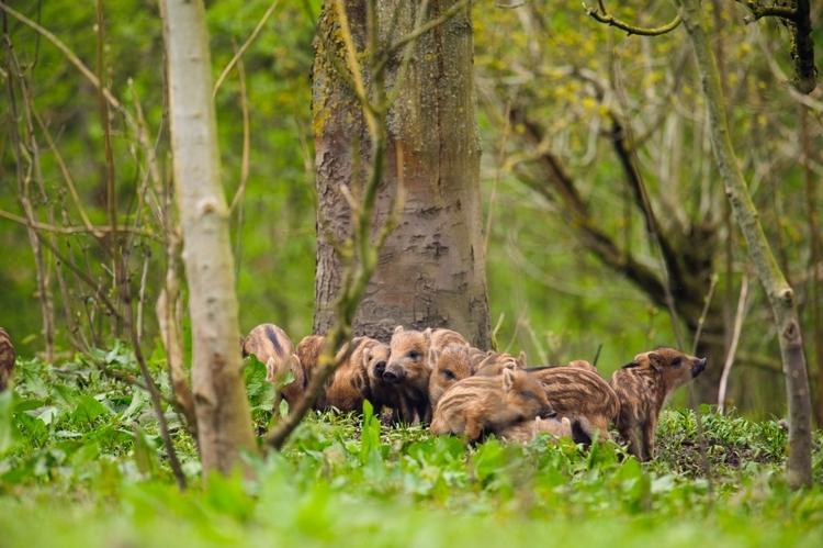 vilda-85172-jonge-wilde-zwijntjes-in-een-bos-lars-soerink-800-px-45056.jpg