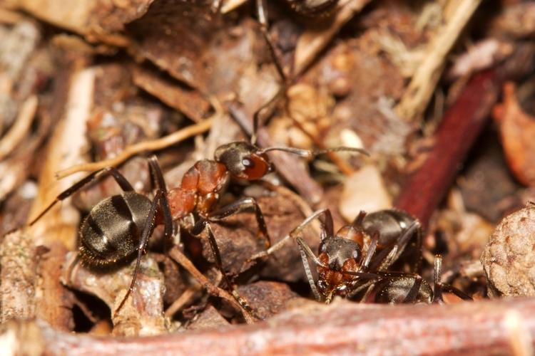 La fourmi rousse des bois (Formica rufa)