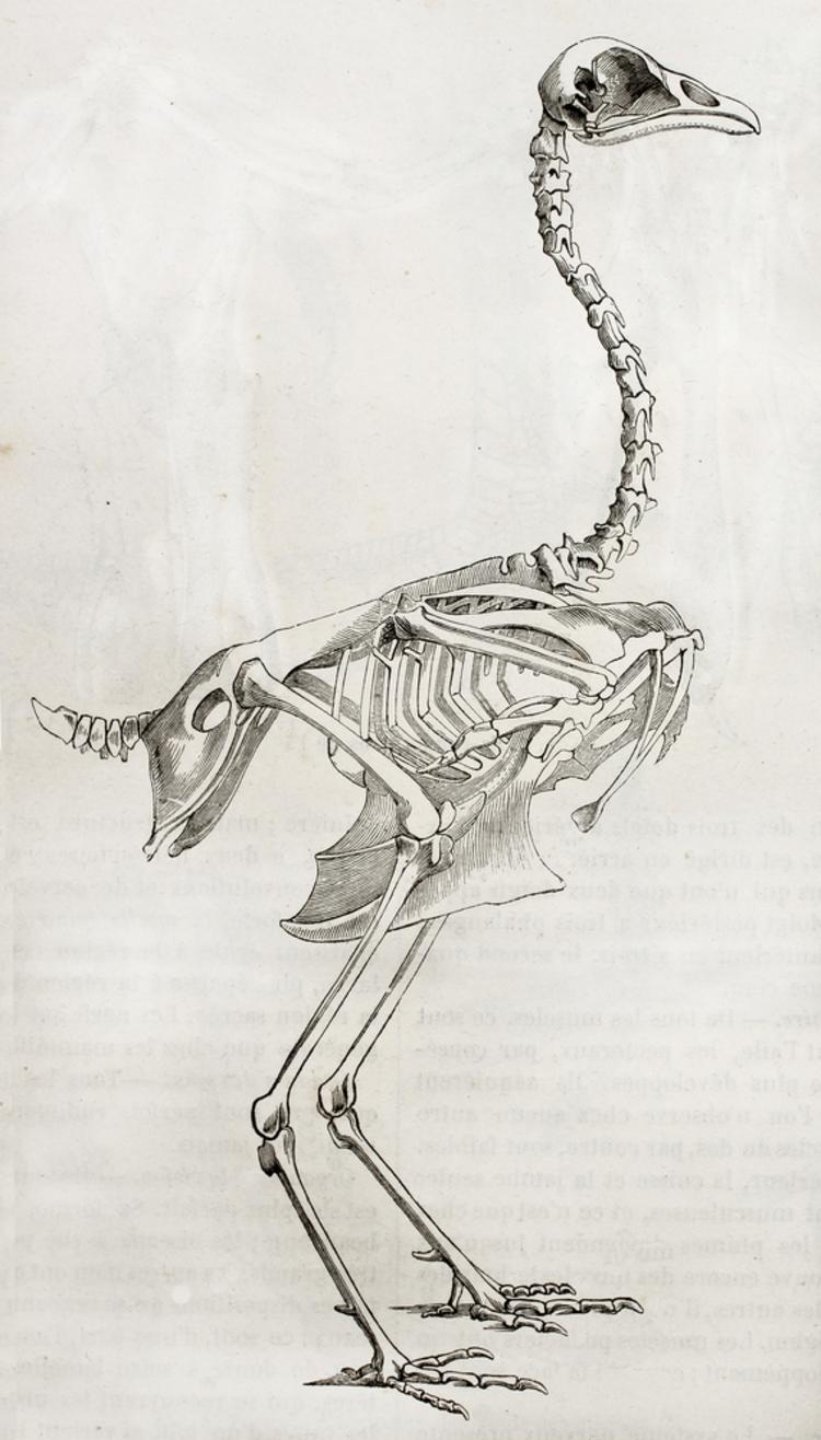 skelet-haan.jpg