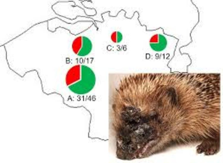 Hérisson souffrant de Corynebacterium ulcerans et régions de Flandre où les cas où été recensés