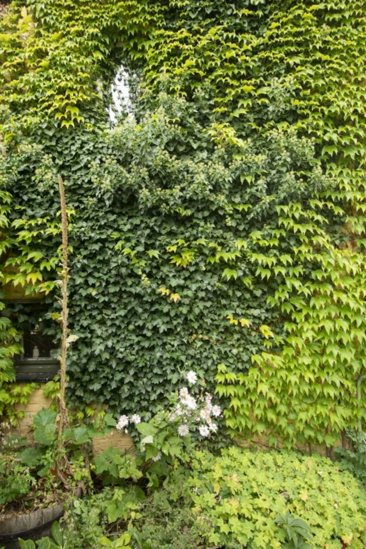 vilda-153553-gevelgroen-met-bloeiende-klimop-en-wingerd-rollin-verlinde-800-px-51878.jpg