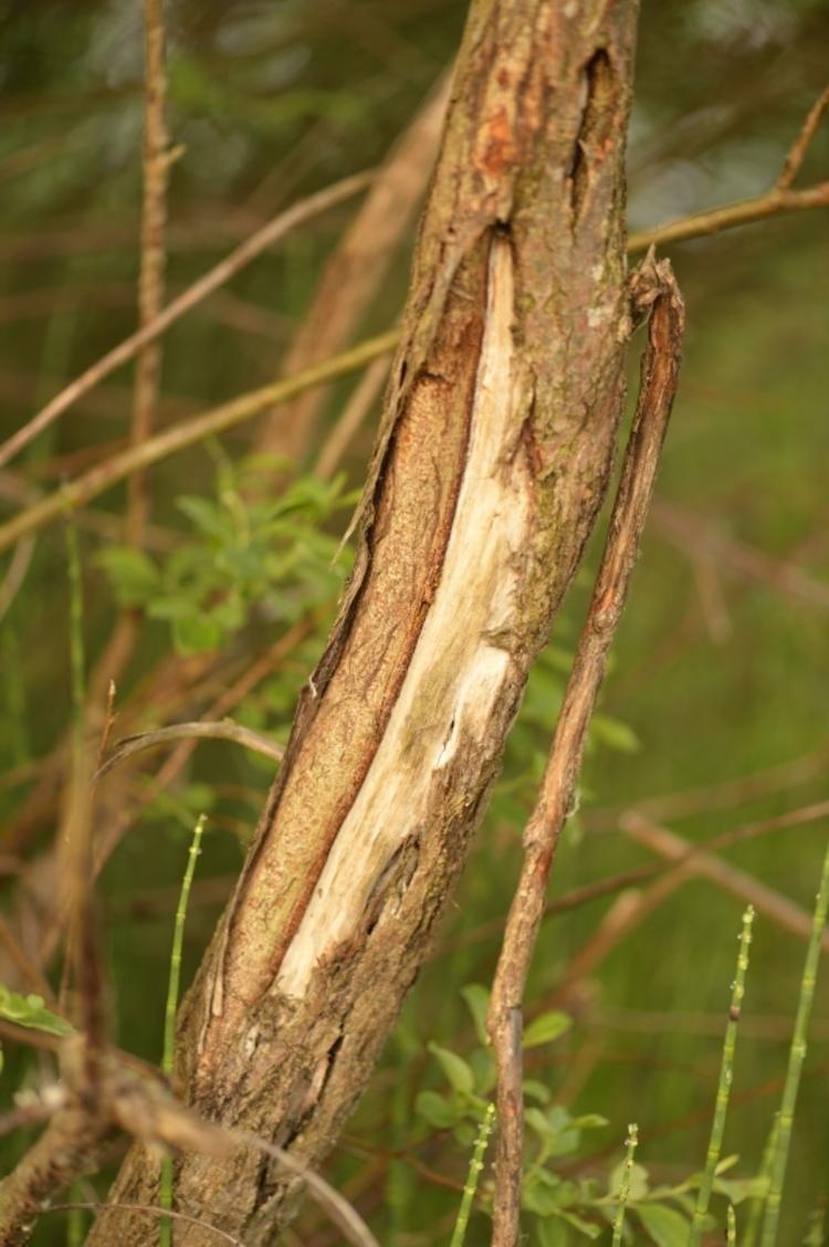 Arbre mangé par un cerf