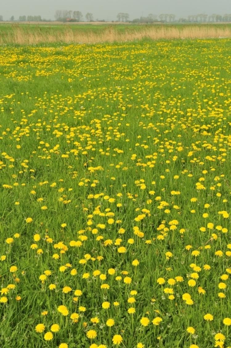 vilda-43046-paardebloemen-in-noordschotebroek-yves-adams-800-px-52775.jpg