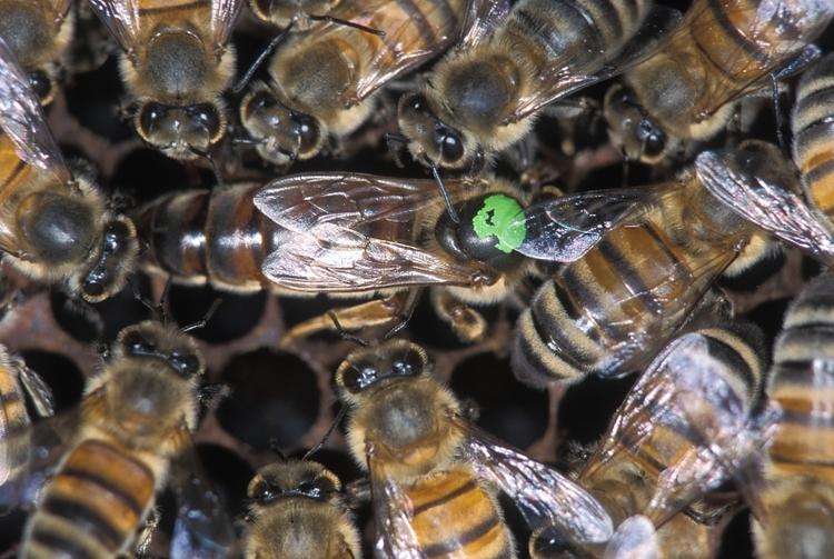 Reine des abeilles et ses ouvrières