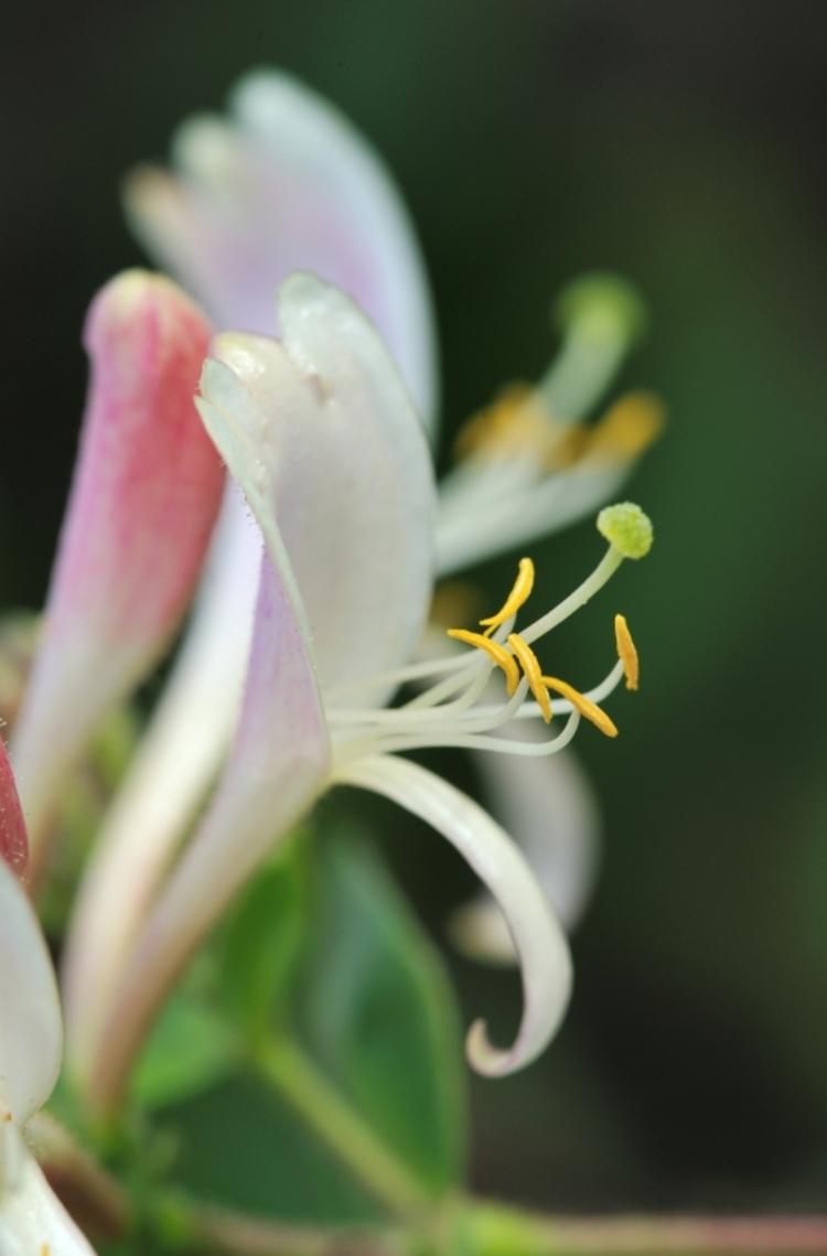 vilda-28578-bloemen-van-kamperfoelie-rollin-verlinde-800-px-53088.jpg