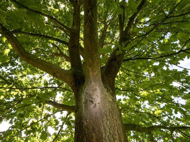 vilda-132596-nest-van-eikenprocessierups-rollin-verlinde-800-px-46367.jpg