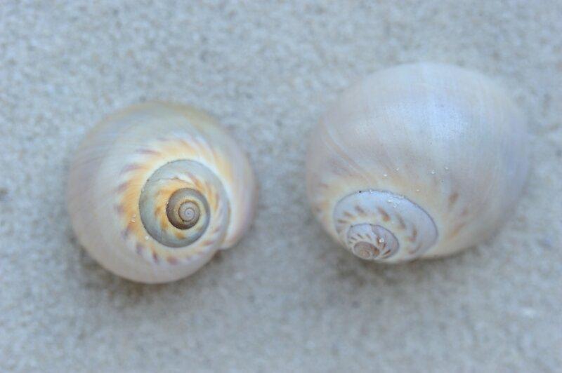Coquillages de naticidae communs, des escargots qui percent des trous dans les coquilles