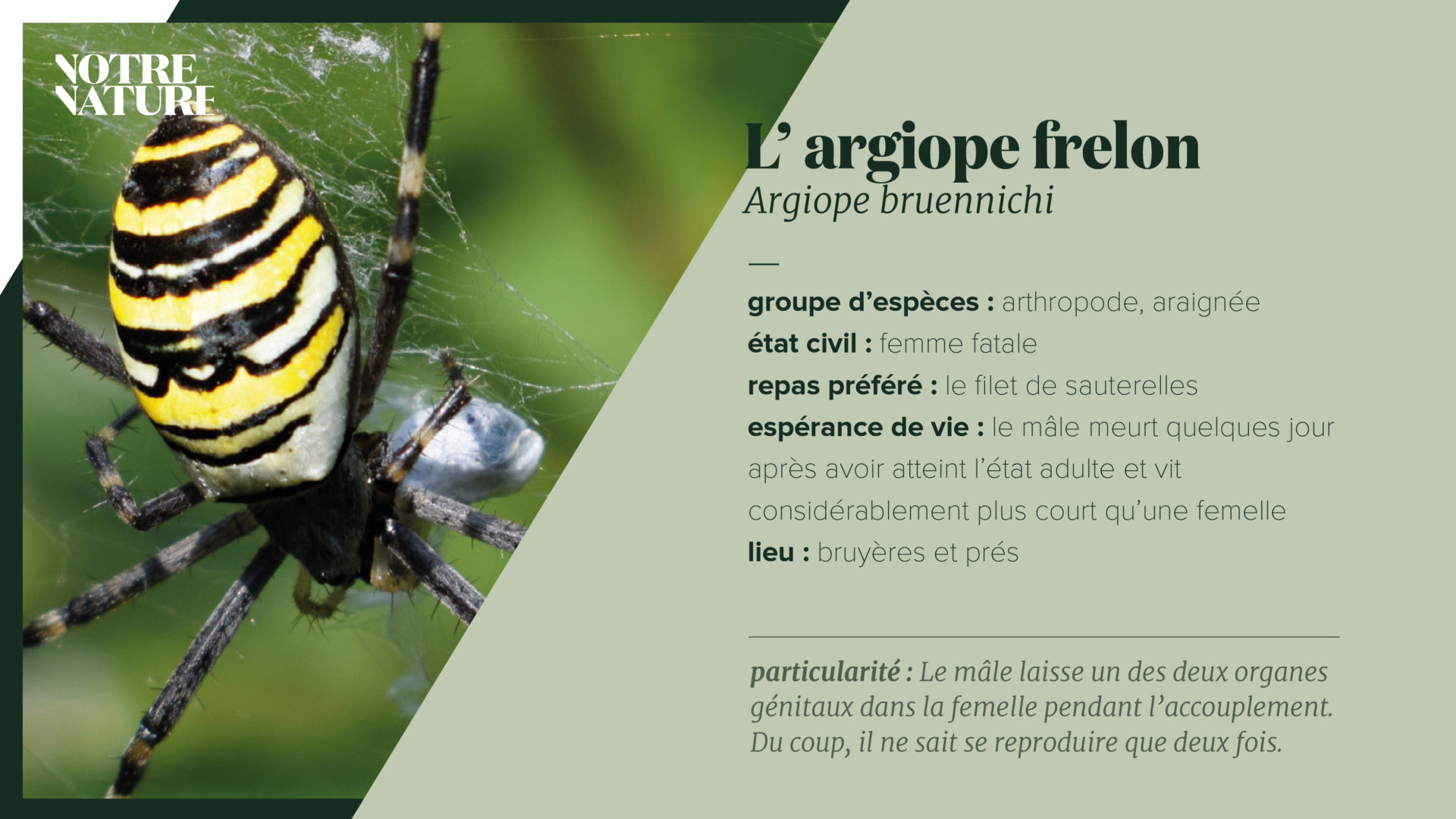 on-fiche-tijgerspin-fr.png