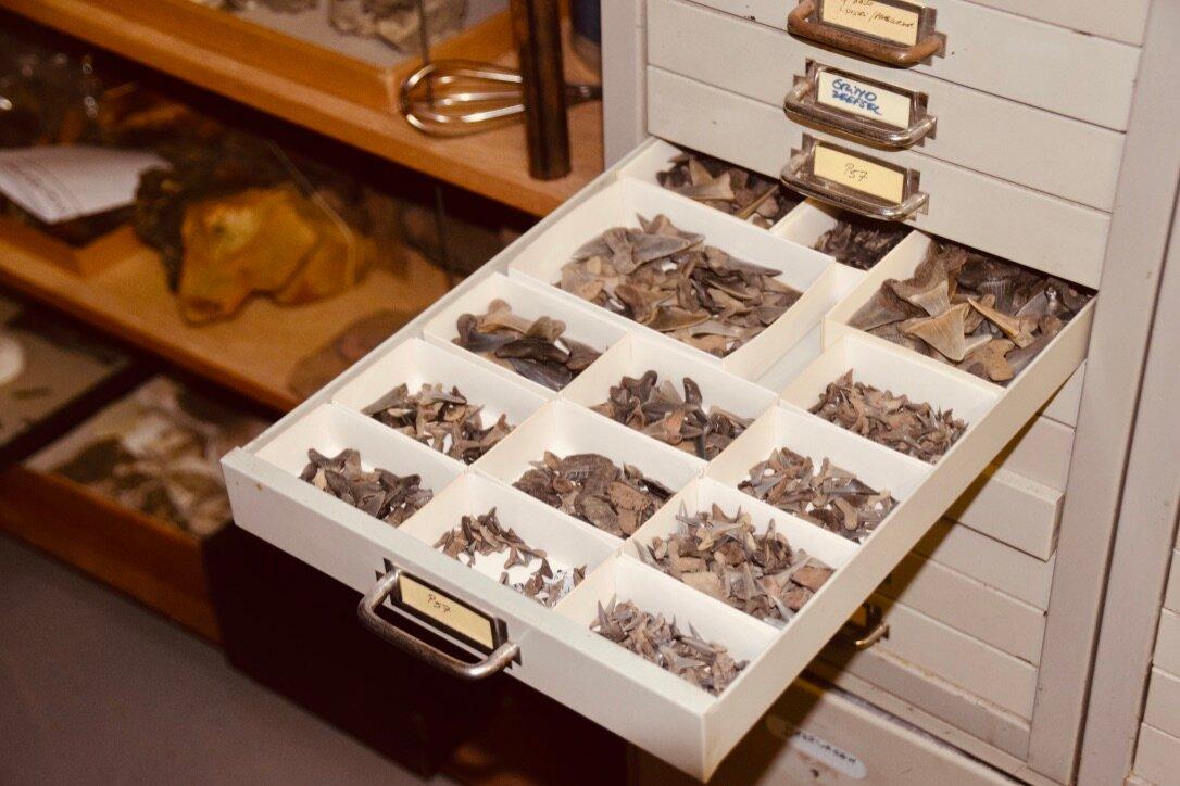 Un tiroir plein de dents de requin de toutes tailles