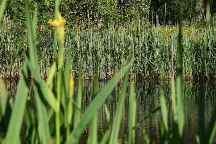 Un foulque prend du bon temps dans cet étang naturel dont l'eau est purifiée par l'iris jaune.