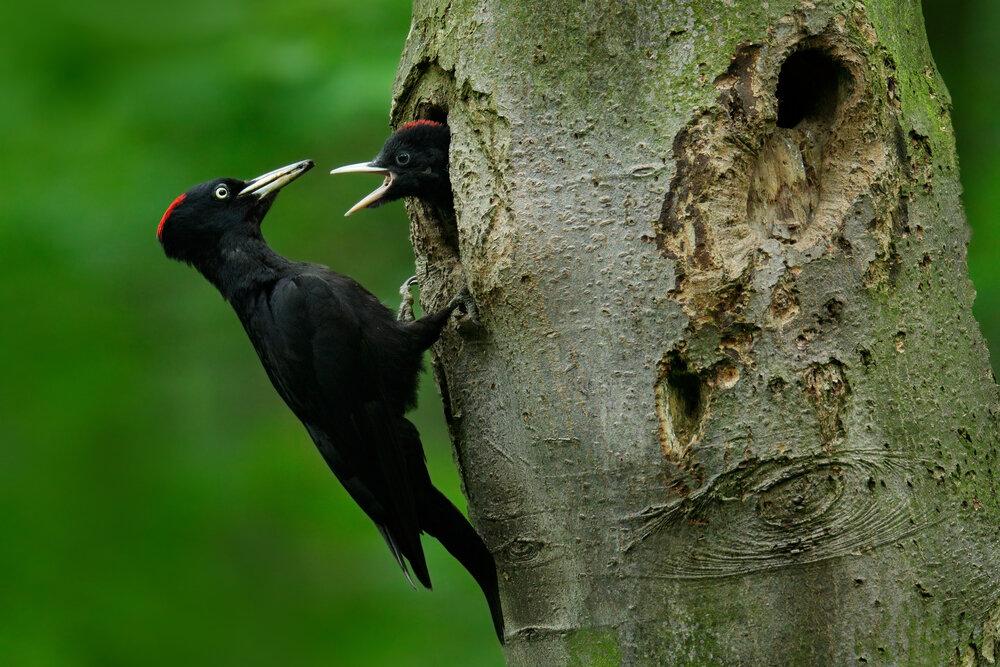 Zwarte specht vrouwtje voert jong