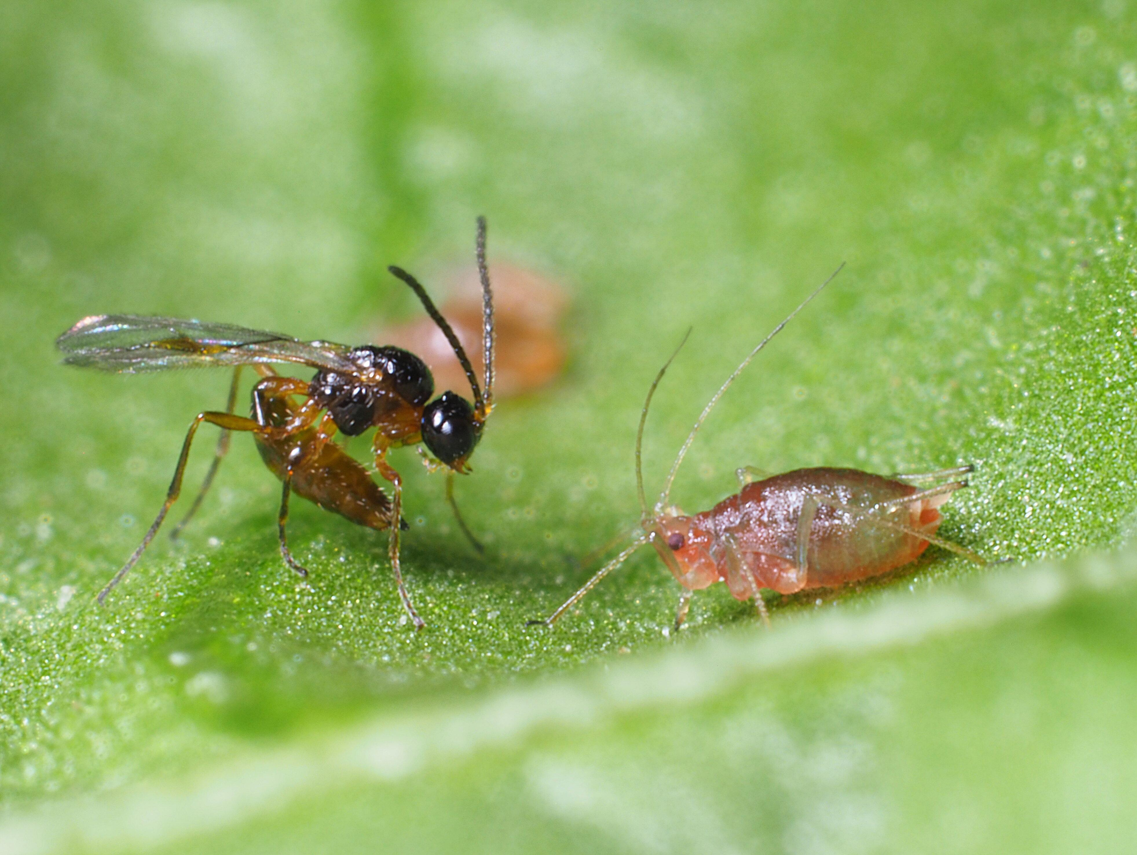 aphidius-colemani-adult-17-ws.JPG