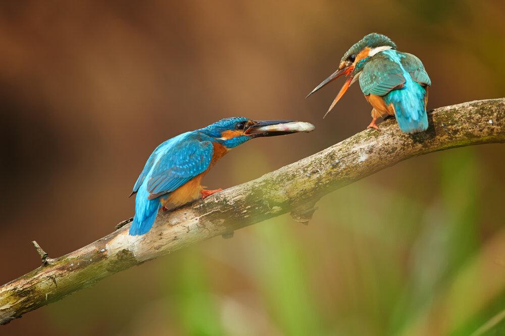 courtship-feeding-ijsvogel.jpg