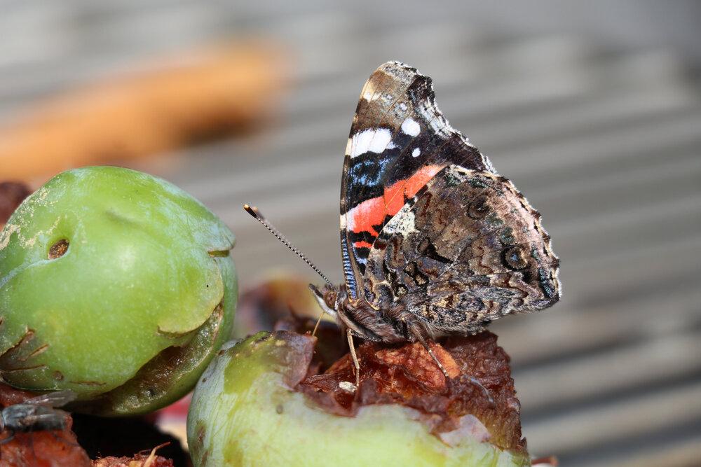 atalanta-op-fruit.jpg