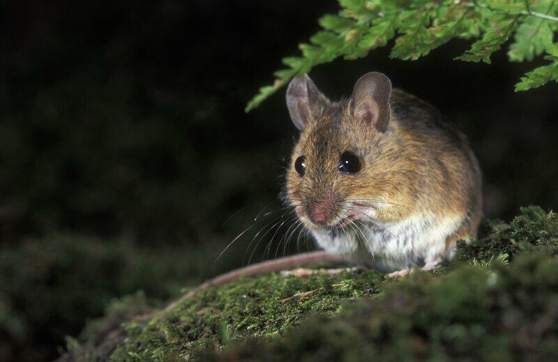 Souris des bois (ou Mulot sylvestre, Souris de terre, Souris des bois, Rat-mulot, Rat sauteur, Rat sauteur d'Islande, Mulot ordinaire, Mulot gris ou encore Souris sylvestre - à vous de choisir!)