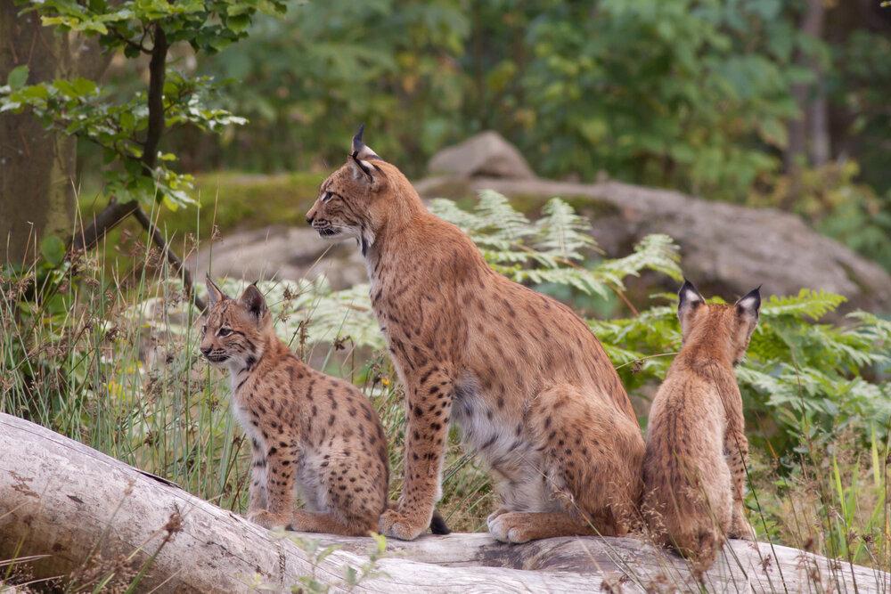 Lynx met twee jongen