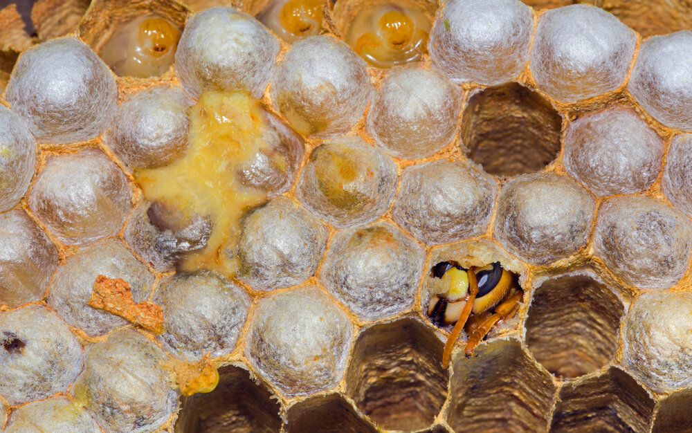 Europese hoornaar komt uit cel na metamorfose